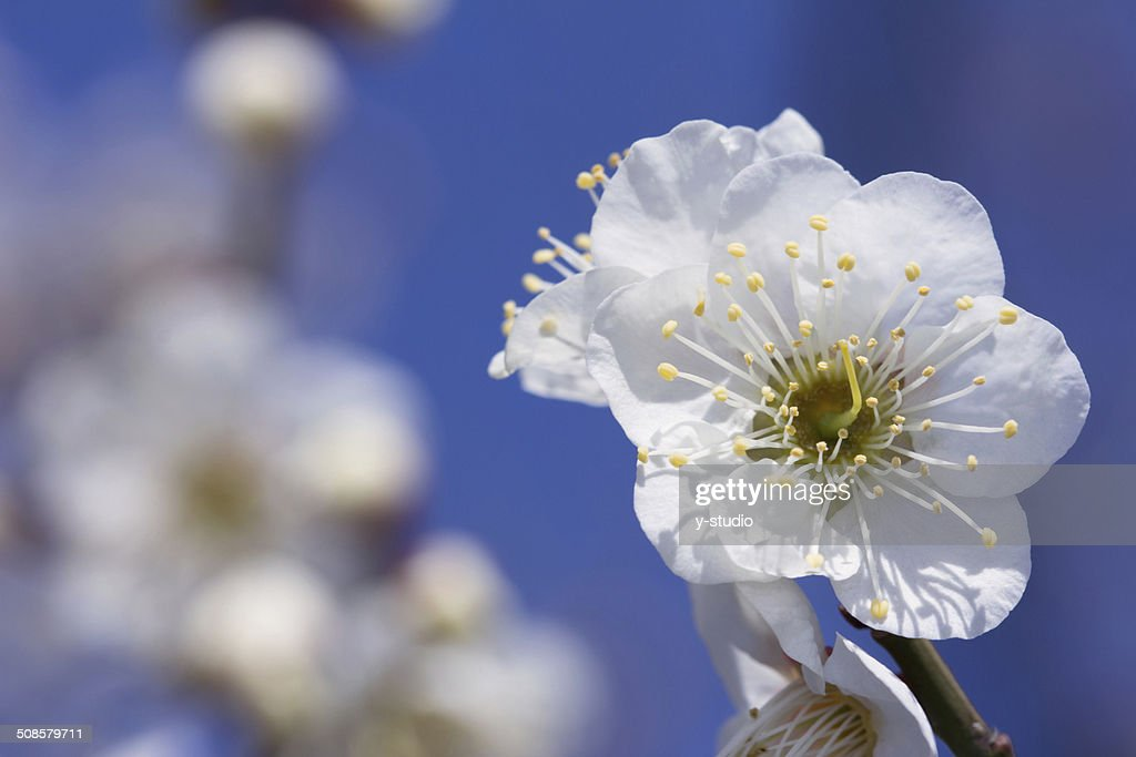 Plum blossom : Bildbanksbilder