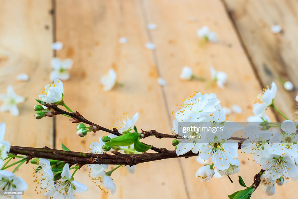 Plum blossom with white flowers on wood background. : Stock Photo