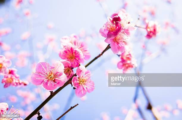 Plum blossoms against blue sky