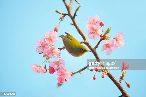 Plum blossoms and Japanese White-eye, Shizuoka Prefecture, Japan