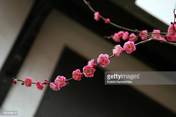 Plum blossoms are seen in full bloom at plum blossoms at Kitano Tenmangu Shrine on February 8 2007 in Kyoto Japan Due to the warm winter the plum...