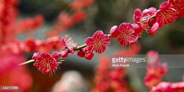 Plum blossoms (Prunus sp.) close-up