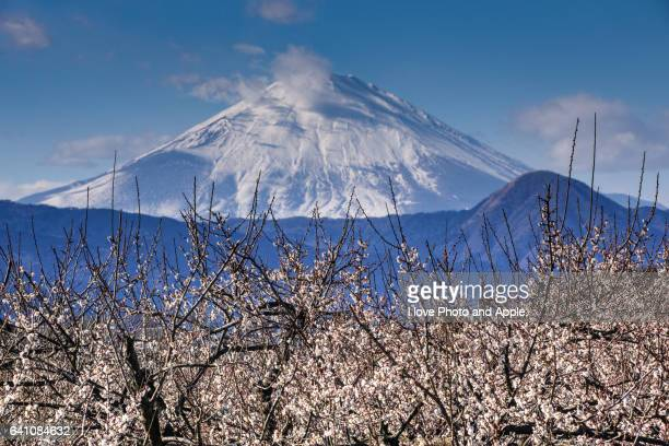 Plum blossoms in full bloom and Mt. Fuji