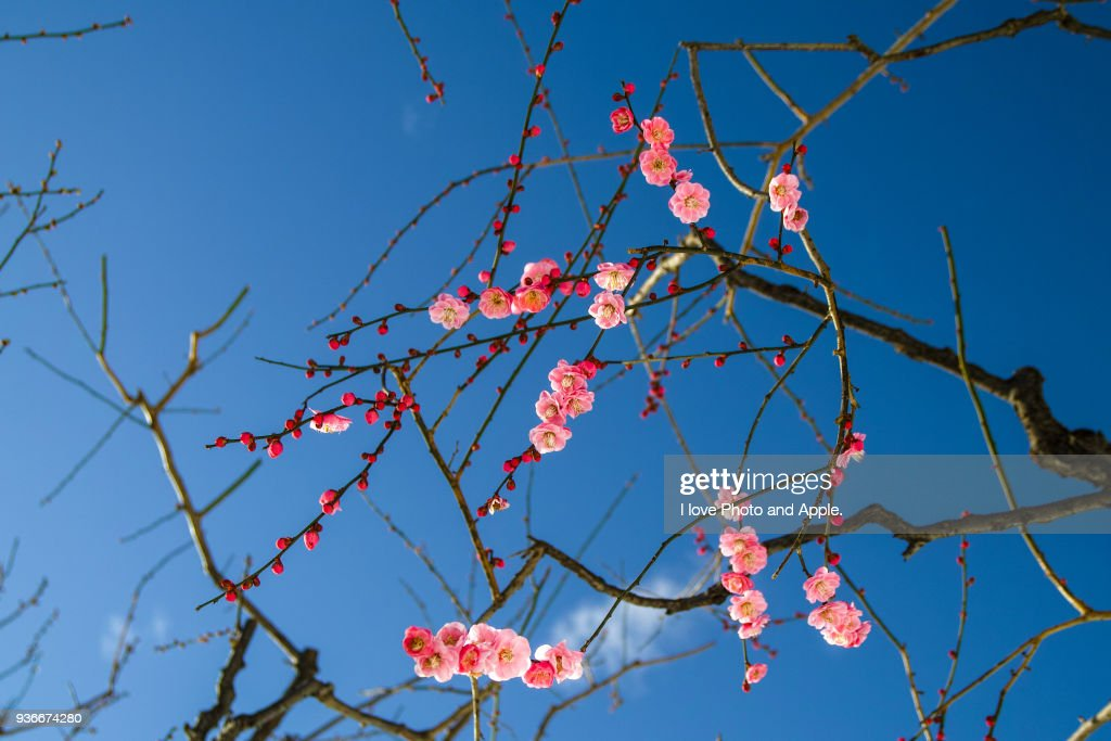 Plum blossoms of a snowy day : Stock-Foto