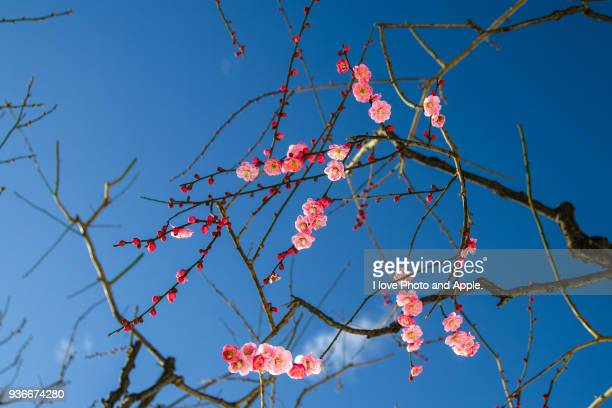 Plum blossoms of a snowy day