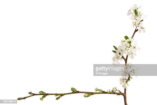 Plum Blüten (Prunus