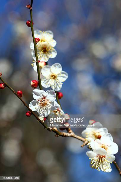 plum blossoms - chofu stock pictures, royalty-free photos & images