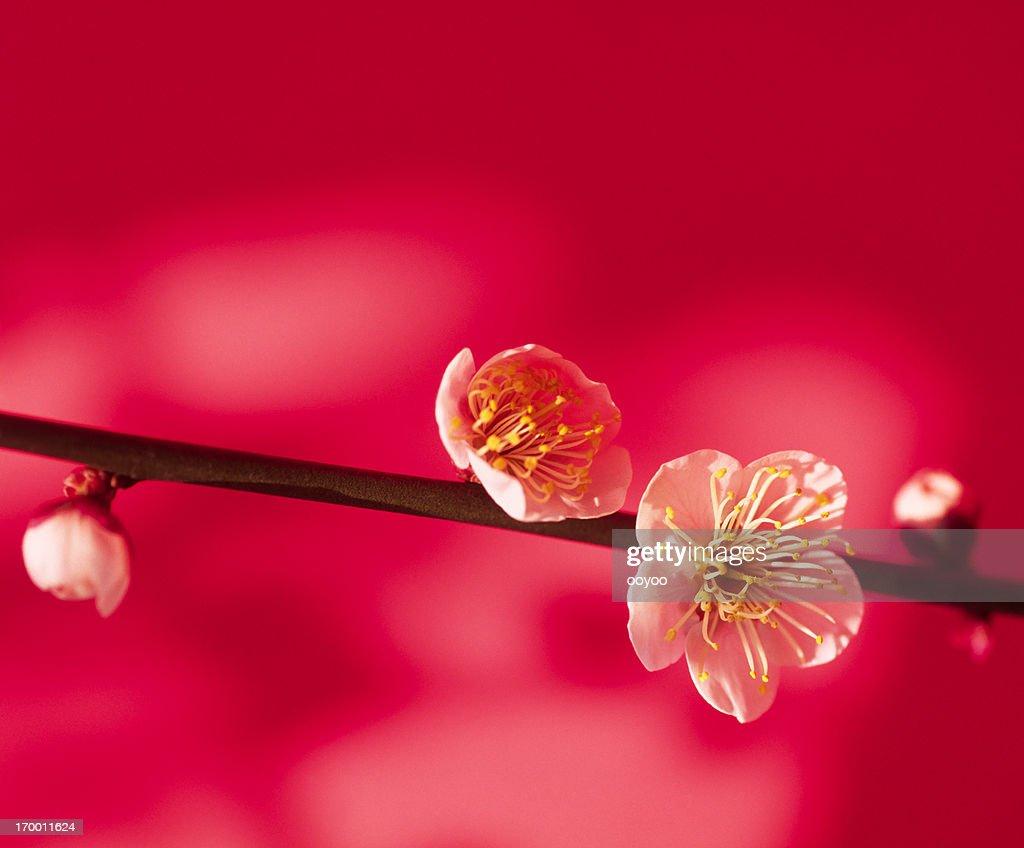 梅の花 : ストックフォト