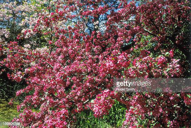 Plum coloured crabapple