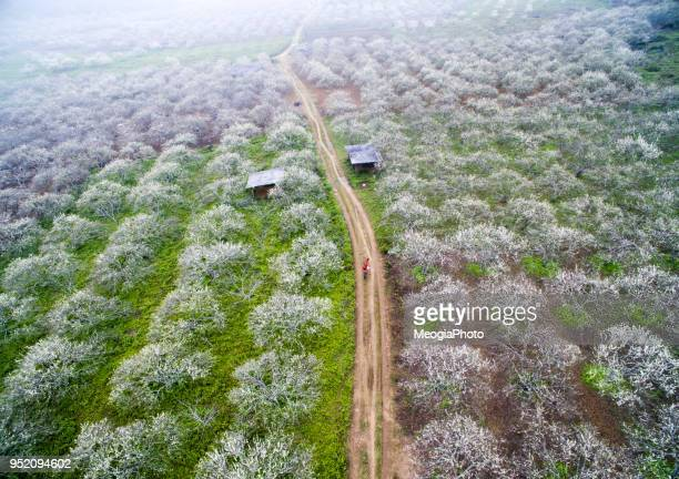 plum flower forest from above - son la province stock pictures, royalty-free photos & images
