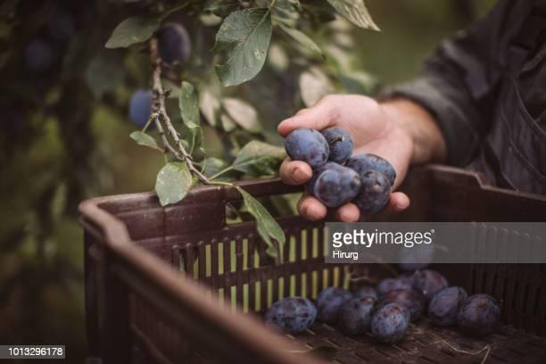 cosecha de ciruela. manos de los agricultores con ciruelas recién cosechados - ciruela fotografías e imágenes de stock
