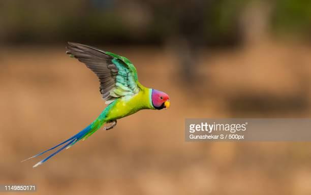 plum headed parakeet!! - tropical bird stock pictures, royalty-free photos & images