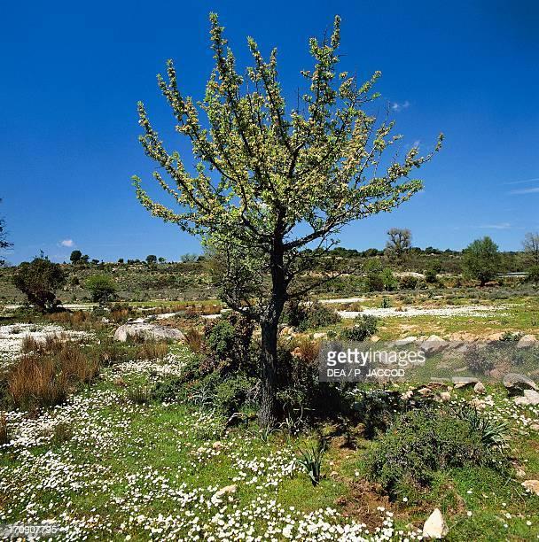 Plum National Park of the Bay of Orosei and Gennargentu Sardinia Italy