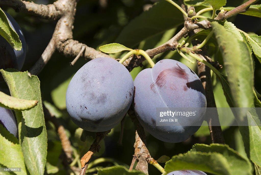 Plum orchard : Stock Photo