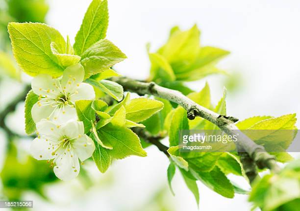plum tree in spring - magdasmith stock pictures, royalty-free photos & images