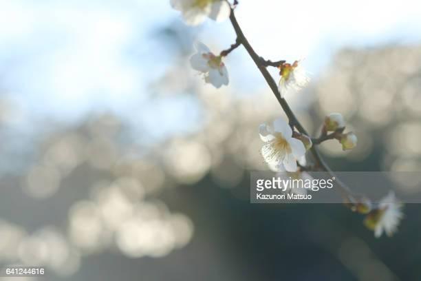 Plum tree / Ume tree Japan