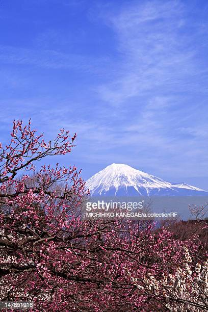 Plum Trees and Mt Fuji