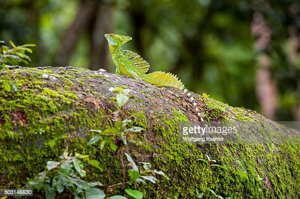 A plumed basilisk Basiliscus plumifrons also called a green basilisk double crested basilisk or Jesus Christ lizard on a tree at Cano Negro Wildlife...