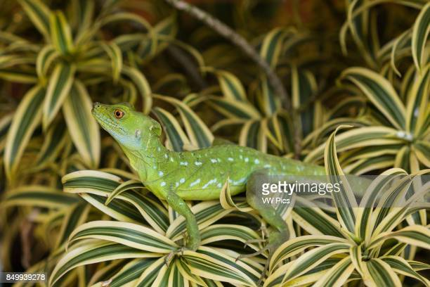 Plumed Basilisk Green Basilisk Double Crested Basilisk Basiliscus plumifrons always lives around water and can run on water or swim when threatened...