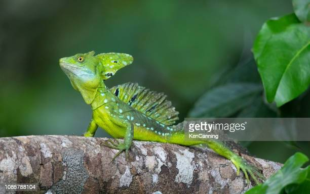 plumed basilisk lizard basking in the costa rica rainforest - iguana family stock photos and pictures
