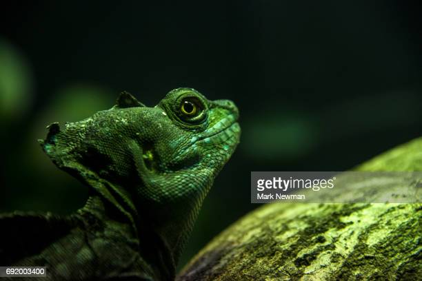 plumed basilisk - iguana family stock photos and pictures