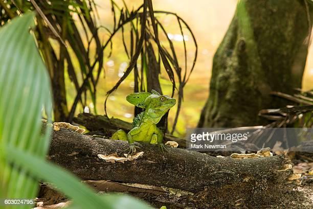 Plumed Emerald Basilisk