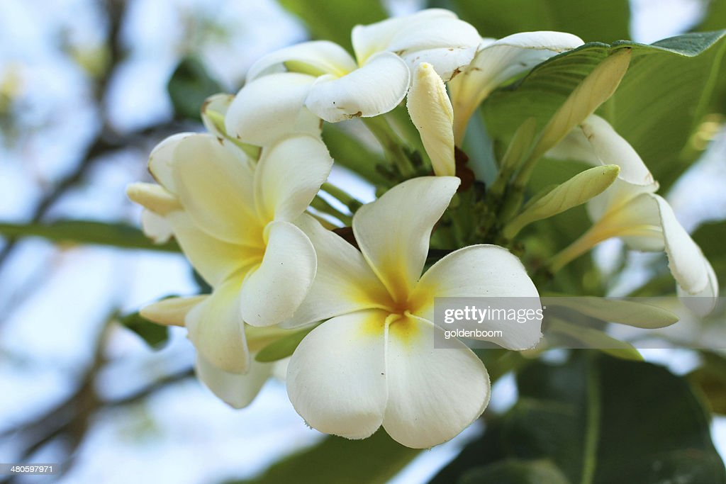 Plumeria blooming in the garden : Stock Photo