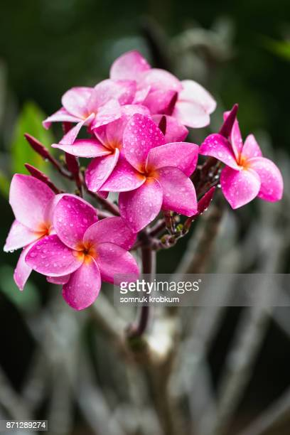 Plumeria flower with raindrops