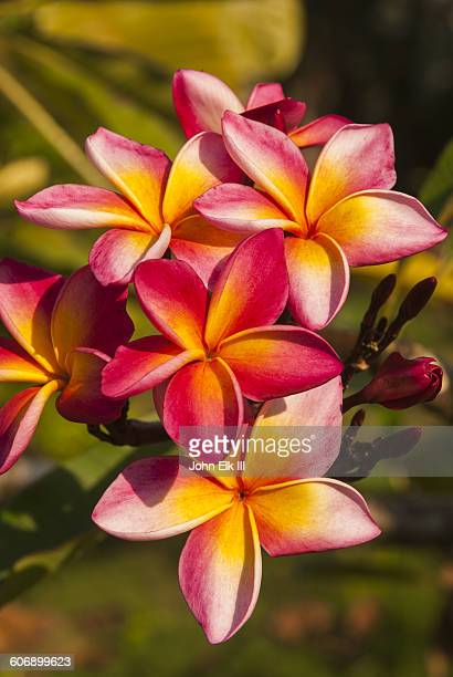 Plumeria flowers in Amazon rainforest