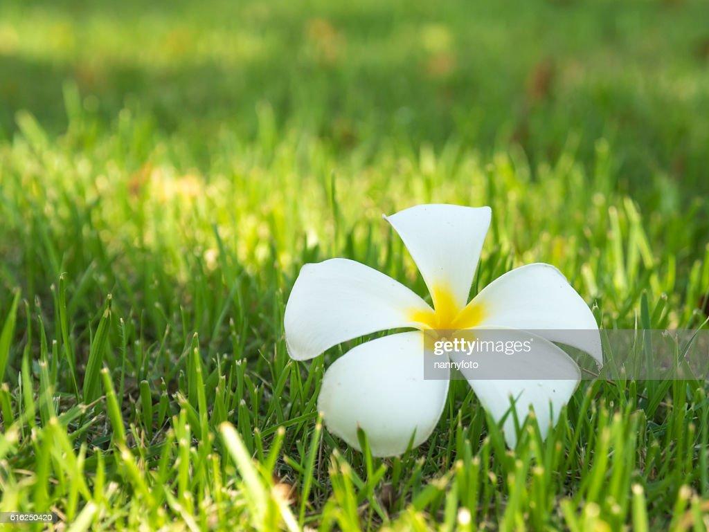 plumeria flowers On grass : Stock Photo
