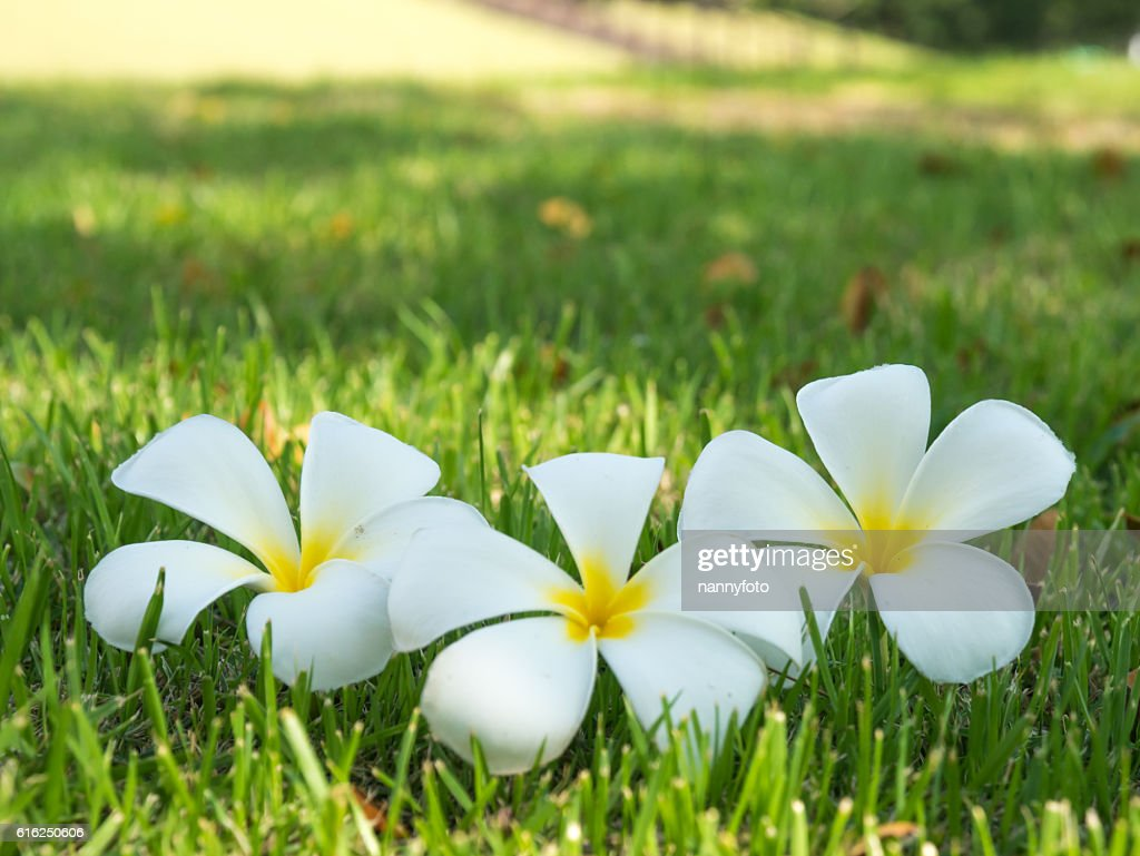 plumeria flowers On grass : Foto de stock