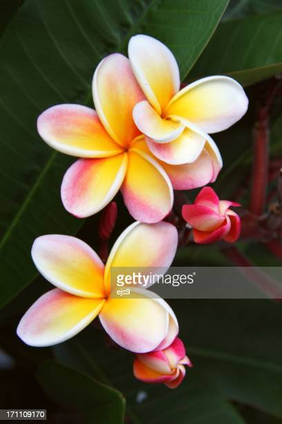 Plumeria flowers on Oahu Hawaii
