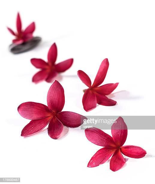 Plumeria fleurs