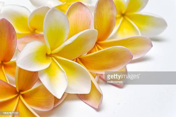 Plumeria 、フランジパニ、ホワイト、普通、花、