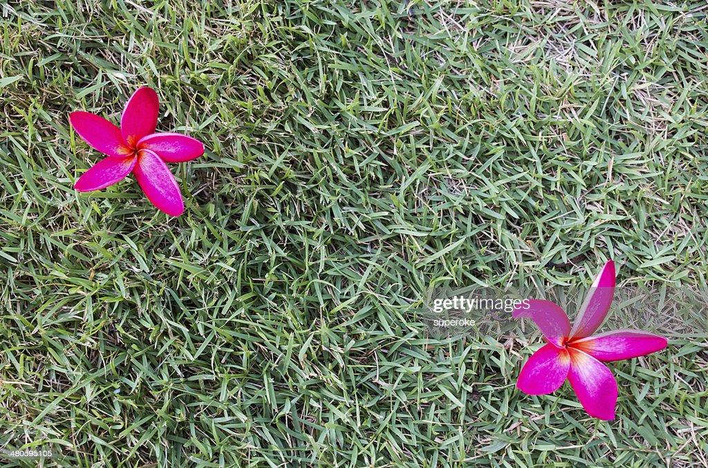 Plumeria on green floor : Stock Photo