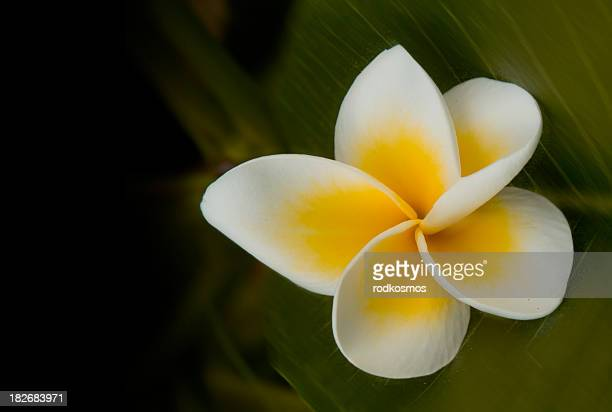 Plumeria on leaf