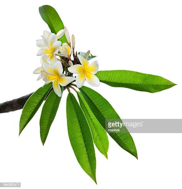 plumeria - hawaiian lei stock pictures, royalty-free photos & images