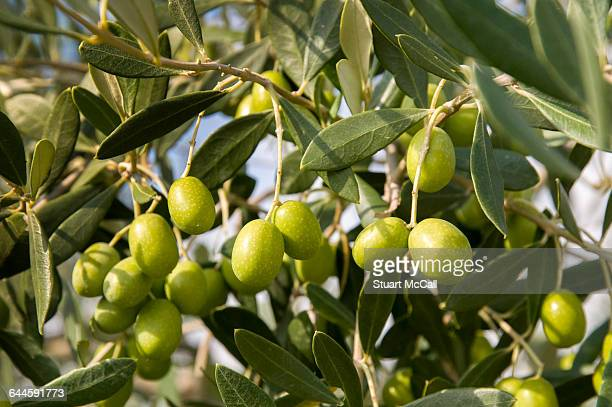 plump green olives on tree.