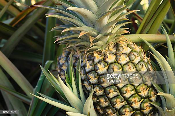 Plump pineapple surrounded by other pineapple leaves