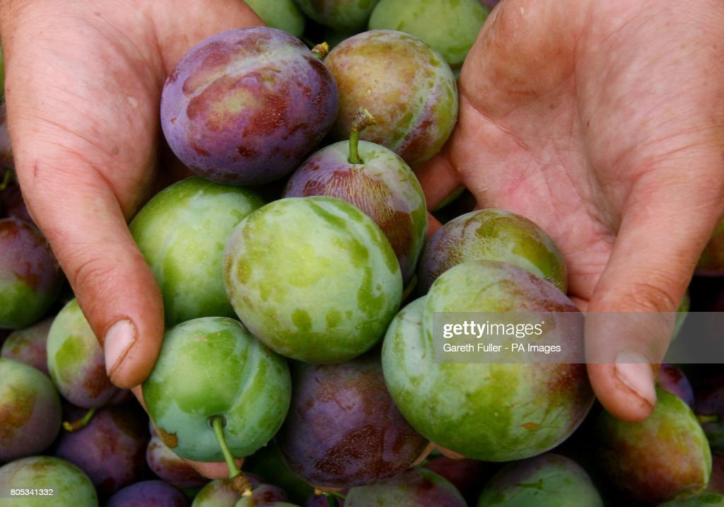 Plums being picked at Clock House Farm in Coxheath, Kent, as growers