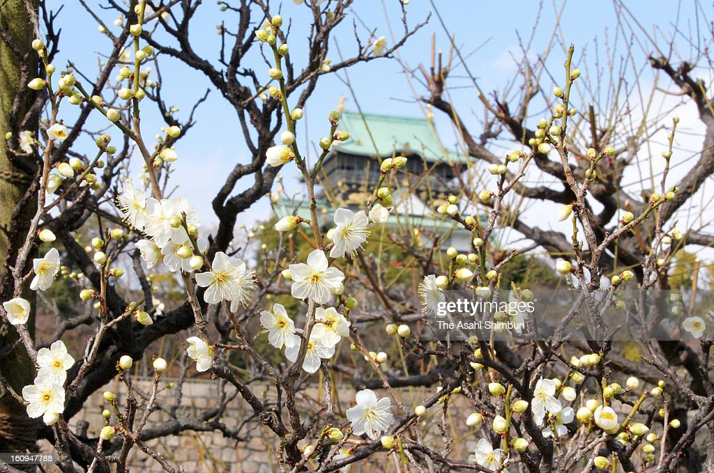 Plums blooming at Osaka Castle Park on February 8, 2013 in Osaka, Japan.