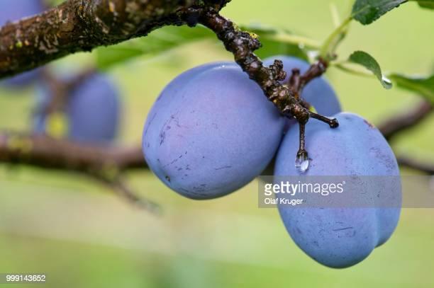 Plums (Prunus domestica) on the tree, Obersoellbach, Hohenlohe, Baden-Wuerttemberg, Germany