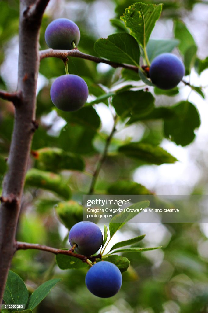 Plums : Stock Photo
