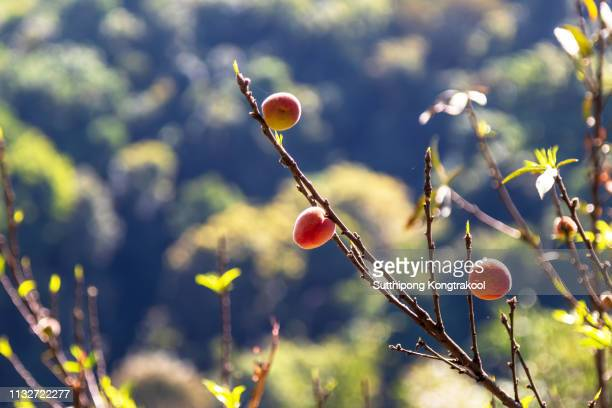 plums ripe on branch. plum blossoming in spring. prunus cerasifera ornamental. plum tree with juicy fruits on sunset light - february stock pictures, royalty-free photos & images