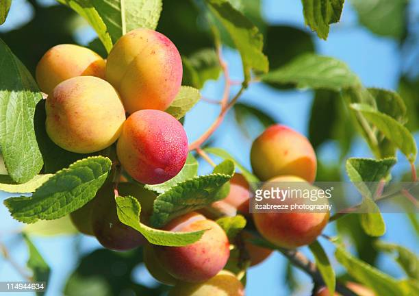 Plums ripening on tree