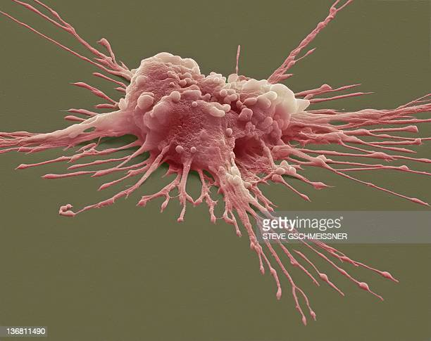 Pluripotent stem cell, SEM