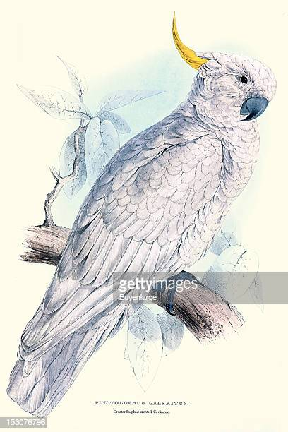 Plyctolophus Galeritus or Greater Sulphurcrested Cockatoo 1831 From 'Illustrations of the Family of Psittacidae or Parrots' by Edward Lear