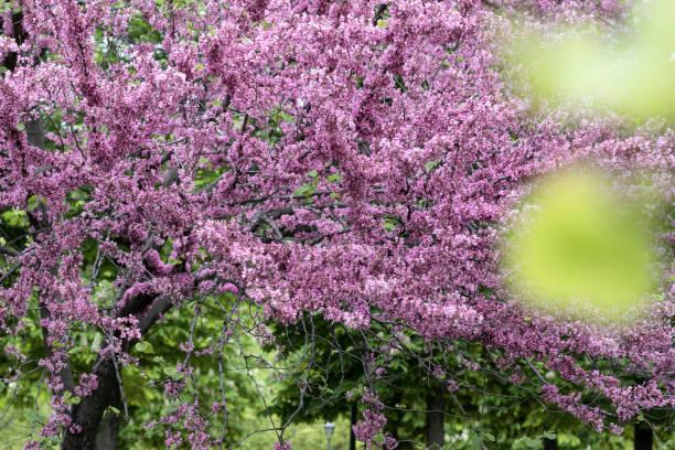 Pnk Judas Trees (Cercis canadensis) Madrid, Spain.