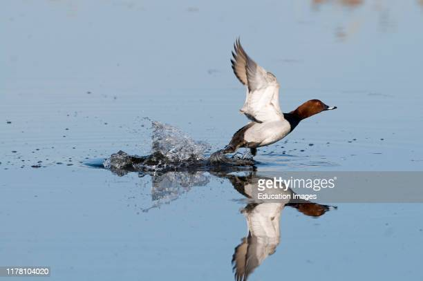 Pochard Aythya ferina taking off Norfolk