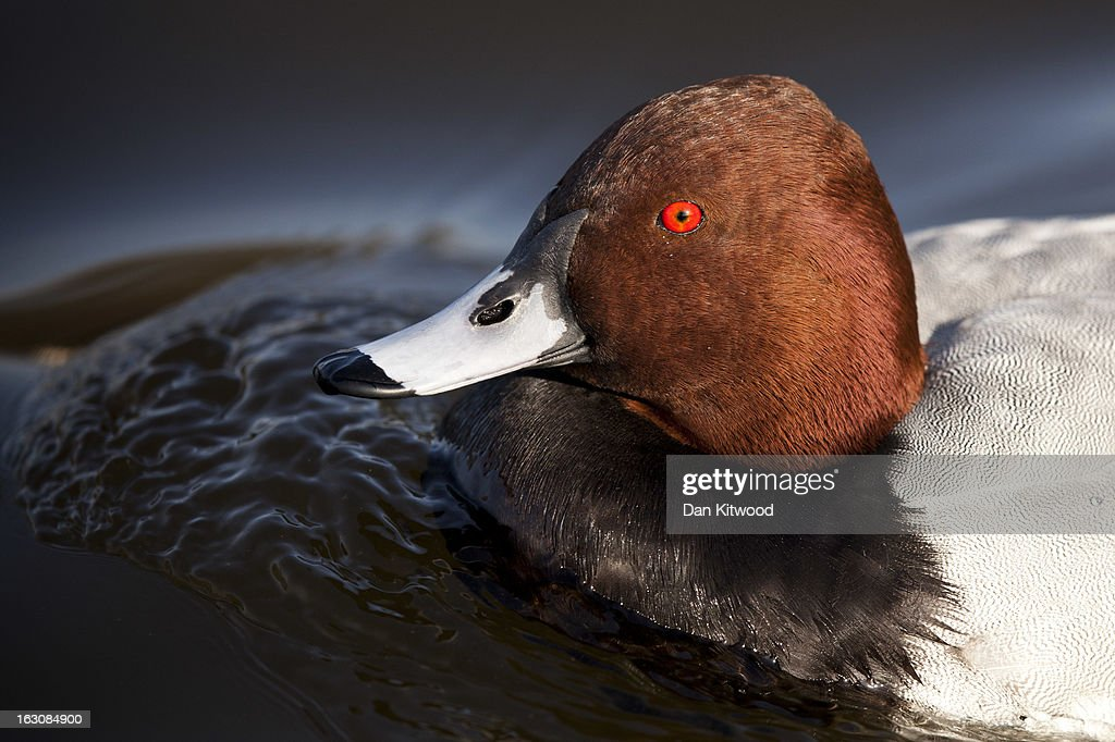 A Pochard swims in Regents Park on March 4, 2013 in London, England. The Met office has predicted the warmest day of the year tomorrow with a top temperature of 15 degrees in some parts of the country.